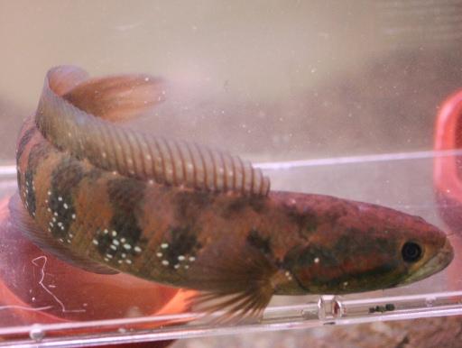 画像1: 【完売です】 大き目サイズ! コウタイ(七星魚) ML #020