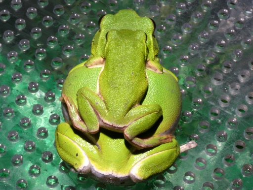 画像3: 【完売です】 緑色がかわいいです! シュレーゲルアカガエル(ペア)
