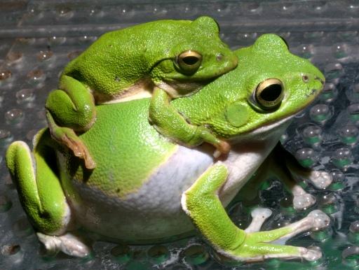 画像1: 【完売です】 緑色がかわいいです! シュレーゲルアカガエル(ペア)