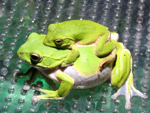 画像2: 【完売です】 緑色がかわいいです! シュレーゲルアカガエル(ペア)