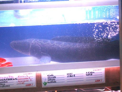 画像1: 【完売です】 今年も来ました!でかいやつ! 新潟産BIGライギョ(雷魚)! カムルチー(70cm)