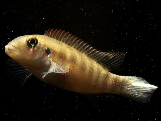 画像1: 【完売です】 渋いお魚です! ペルヴィカクロミス・フミリス・ストリップ(ペア)