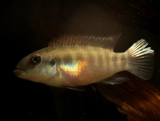 画像2: 【完売です】 渋いお魚です! ペルヴィカクロミス・フミリス・ストリップ(ペア)