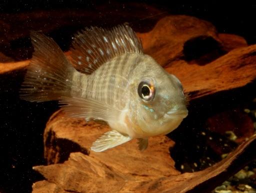 画像2: 個性的なお魚です♪ ギムノゲオファーガス・バルザニ―