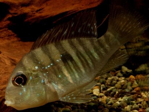 画像1: 個性的なお魚です♪ ギムノゲオファーガス・バルザニ―