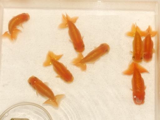 画像1: [完売です] 最終選別までいった個体群です! ランチュウ(10cmサイズ)