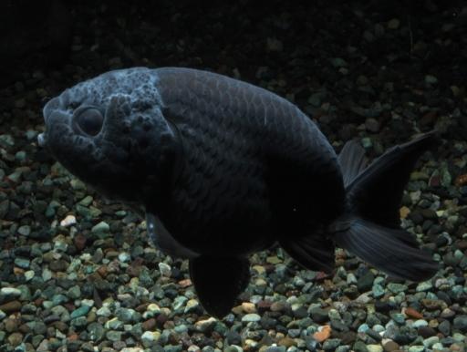画像2: しぶすぎてカッコいい! ブラックランチュウ (8〜10cmサイズ)
