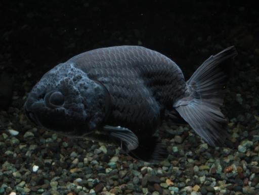 画像1: しぶすぎてカッコいい! ブラックランチュウ (8〜10cmサイズ)