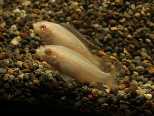 画像2: 幻想的な魚です! アルビノプルケール 5匹セット