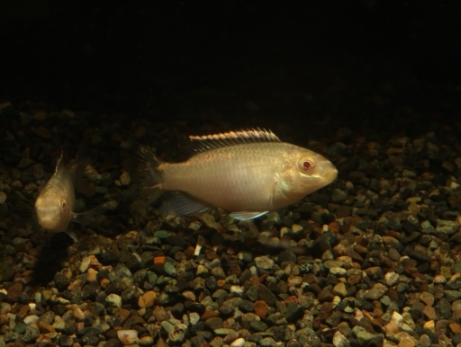 画像1: 幻想的な魚です! アルビノプルケール 5匹セット