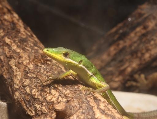 画像1: 沖縄産! アオカナヘビ