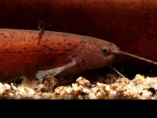 画像1: 入荷は稀の赤いやつ!これでも属中最大種! カンボジア・ナイフキャット (Silurichthys scheneideri)