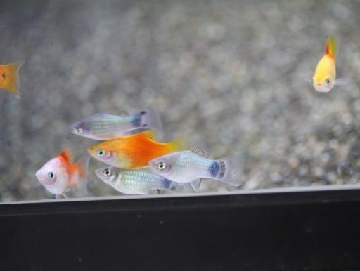 画像1: 飼育・繁殖容易なカワイイお魚! MIXプラティ 10匹
