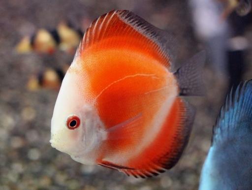 画像1: HP特価!赤がとてもきれいです! レッドメロンディスカス