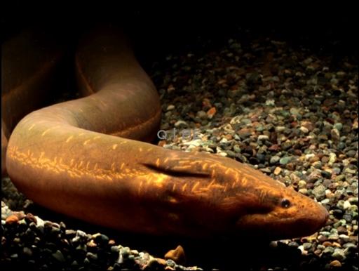 画像2: [完売しました] ピグメントが無いタイプ・・・これもアナコンダ・シンプランクス(?) Synbranchus marmoratus?