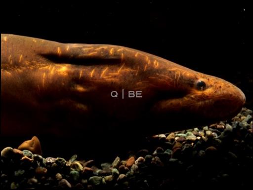 画像1: [完売しました] ピグメントが無いタイプ・・・これもアナコンダ・シンプランクス(?) Synbranchus marmoratus?