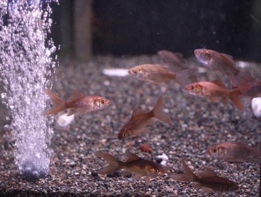画像1: かわいいです! チョコレートコメット(ブリード鉄魚)
