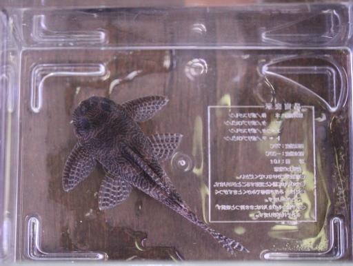 画像2: レアです! ドンキーフェイスクィーンアラベスク・ペコルティア ドイツブリード 6cm