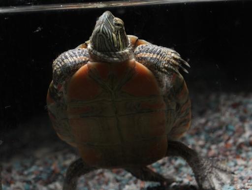 画像1: 綺麗! トウブニシキガメ