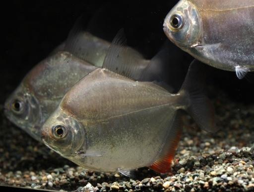 画像1: 中型魚の混泳にどうぞ! メチニス 7cm