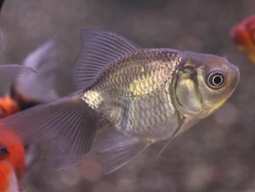 画像1: 渋いです! 青文魚