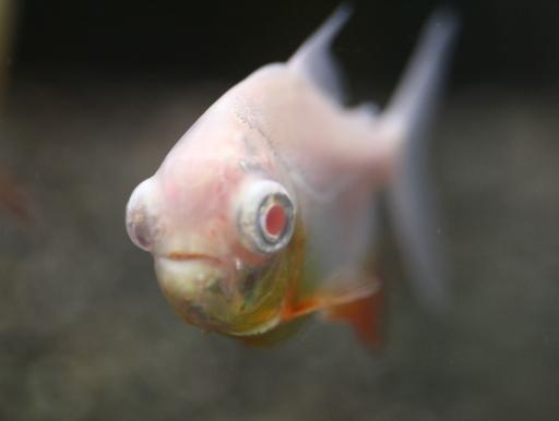 画像2: 深海魚ファンの方お待たせいたしました!!! アルビノレッドコロソマ 深海魚フェイス