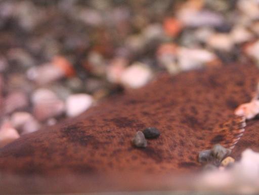 画像2: 擬態が上手です!インド淡水カレイ