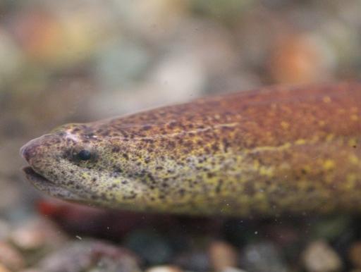 画像1: にょろにょろ系! アナコンダ・シンプランクス(ベビー) Synbranchus marmoratus
