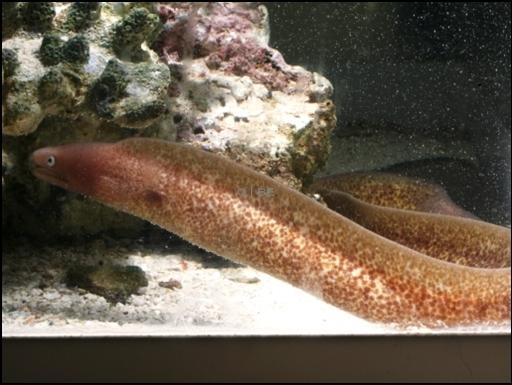 画像2: [海水] 斑の迷彩模様が良い感じ! サビウツボ