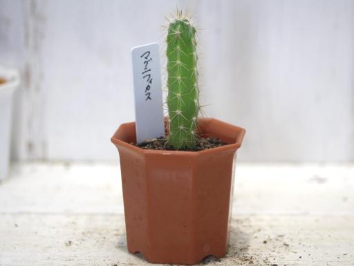 画像1: 青緑の肌色と金色の鬣状の長い刺が魅力! [サボテン][ノトカクタス] マグニフィカス 英冠玉 2号 Parodia(Notocactus)magnificus
