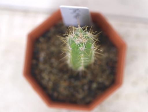 画像3: 青緑の肌色と金色の鬣状の長い刺が魅力! [サボテン][ノトカクタス] マグニフィカス 英冠玉 2号 Parodia(Notocactus)magnificus