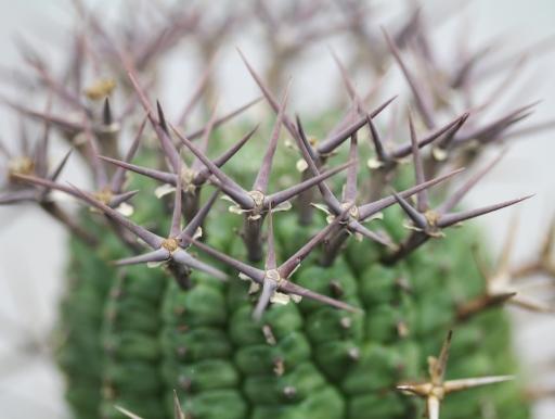 画像1: 刺ではなくて花径です! [多肉][トウダイグサ科][ユーフォルビア][球状タイプ] 群星冠  Euphorbia stellaespina  LL