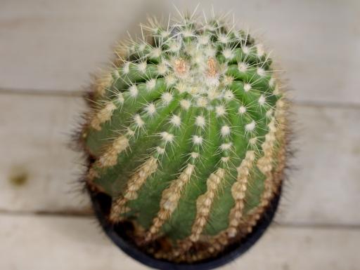 画像4: ずっしり!  [サボテン][花サボテン][パロディア/ノトカクタス] ホルスティ 大 Parodia(Notocactus) horstii #307
