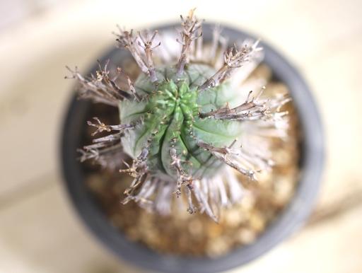 画像5: 塊根できてます! 枝が特徴的な湾曲してる個体! [多肉][トウダイグサ科][ユーフォルビア][球状タイプ] スーパーバリダ25cm♀ Euphorbia valida #308
