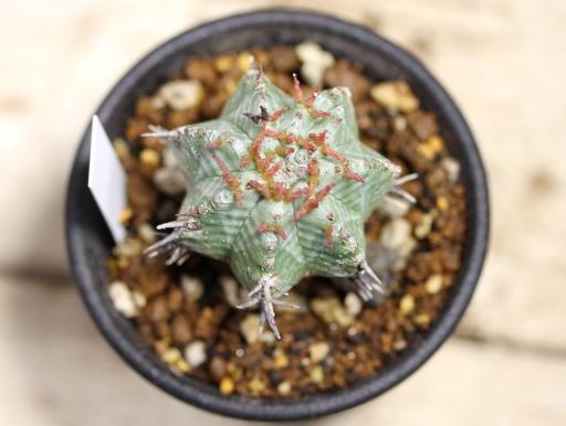 画像3: ゼブラ柄がいい感じです! [多肉][トウダイグサ科][ユーフォルビア][球状タイプ]ホリダ MS  Euphorbia horrida #112-02