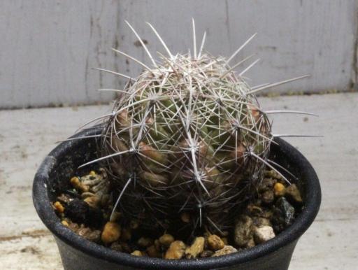 画像2: 刺が痛くない!  [サボテン][花サボテン][テロカクタス] 大統領 Thelocactus bicolor#076-02