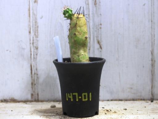 画像1: エビサボテン!  [サボテン][花サボテン][エビ][エキノケレウス] 美花角(びかかく) /花簪 Echinocereus pentalophus #147-01