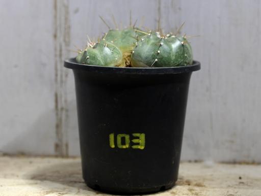 画像1: 3頭!  [サボテン][花サボテン][エビ][エキノケレウス] 宇宙殿 Echinocereus knippelianus #103