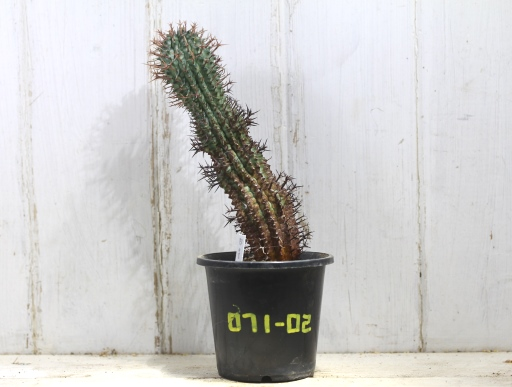 画像1: 刺ではなくて花径です! [多肉][トウダイグサ科][ユーフォルビア][球状タイプ] 群星冠 /星キリン Euphorbia stellaespina #071-02