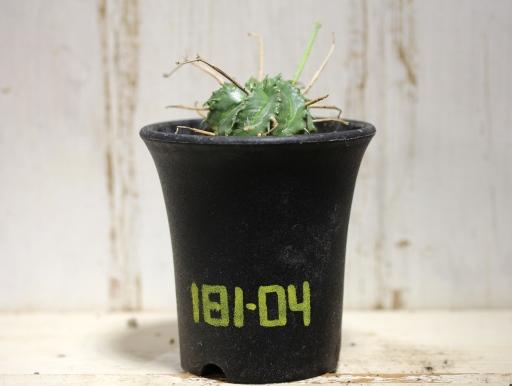 画像1: 花径が長いので将来性あり! [多肉][トウダイグサ科][ユーフォルビア][球状タイプ] スーパーバリダ / 万代  Euphorbia valida #181-04