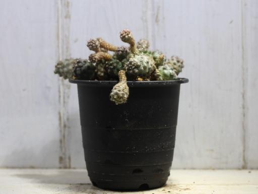 画像1: 寄生獣のミギーみたい?! 小さめですが仔だくさん!  [サボテン][南米球形]コピアポア・フミリス(公子丸) 群生 Copiapoa humilis その2