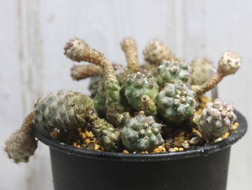 画像2: 寄生獣のミギーみたい?! 小さめですが仔だくさん!  [サボテン][南米球形]コピアポア・フミリス(公子丸) 群生 Copiapoa humilis その2
