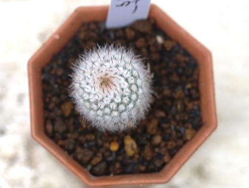 画像3: 密生した刺と美しい花が魅力の種類です!  [サボテン][花サボテン][パロディア/ノトカクタス] 紅小町 Parodia(Notocactus) scopa var. ruberrimus