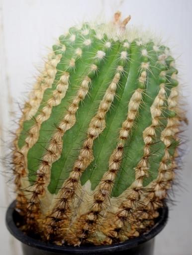 画像2: ずっしり!  [サボテン][花サボテン][パロディア/ノトカクタス] ホルスティ 大 Parodia(Notocactus) horstii #307