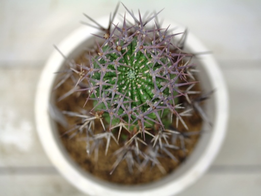 画像3: 刺ではなくて花径です! [多肉][トウダイグサ科][ユーフォルビア][球状タイプ] 群星冠  Euphorbia stellaespina  LL