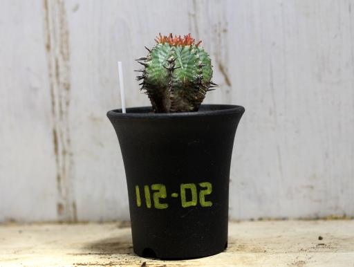 画像1: ゼブラ柄がいい感じです! [多肉][トウダイグサ科][ユーフォルビア][球状タイプ]ホリダ MS  Euphorbia horrida #112-02