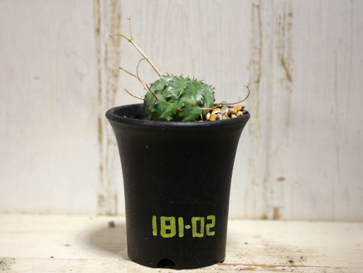 画像1: 花径が長いので将来性あり! [多肉][トウダイグサ科][ユーフォルビア][球状タイプ] スーパーバリダ / 万代  Euphorbia valida #181-02
