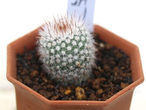 画像1: 密生した刺と美しい花が魅力の種類です!  [サボテン][花サボテン][パロディア/ノトカクタス] 紅小町 Parodia(Notocactus) scopa var. ruberrimus