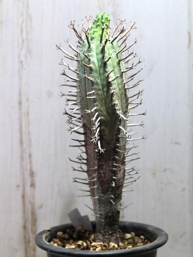 画像3: 塊根できてます! 枝が特徴的な湾曲してる個体! [多肉][トウダイグサ科][ユーフォルビア][球状タイプ] スーパーバリダ25cm♀ Euphorbia valida #308