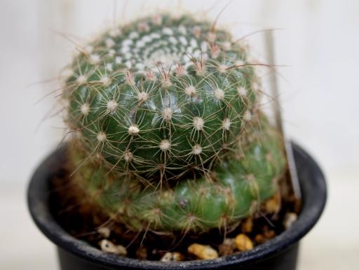 画像3: 正月のあれみたいで目出度い!芽出度い!愛でたい!  [サボテン][花サボテン][パロディア/ノトカクタス] 川内丸 Parodia(Notocactus)apricus #311